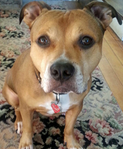 Trinity_Adoptable_Pit_Bull_4
