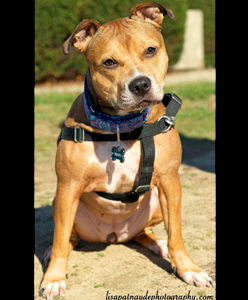 Trinity_Adoptable_Pit_Bull_5