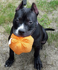 Dolly_Adoptable_Pit_Bull_3