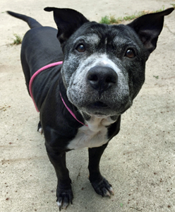Winifred_Adoptable_Pit_Bull_1